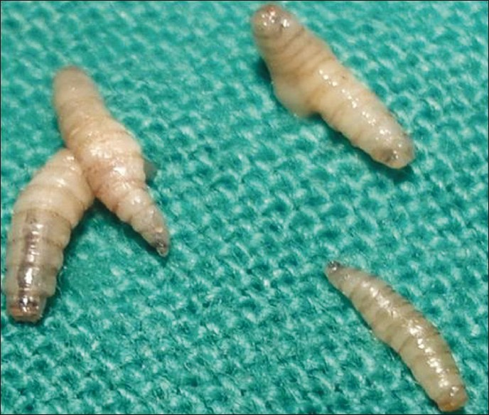 Figure 2: Larvae: Tapered in shape, creamy white in color