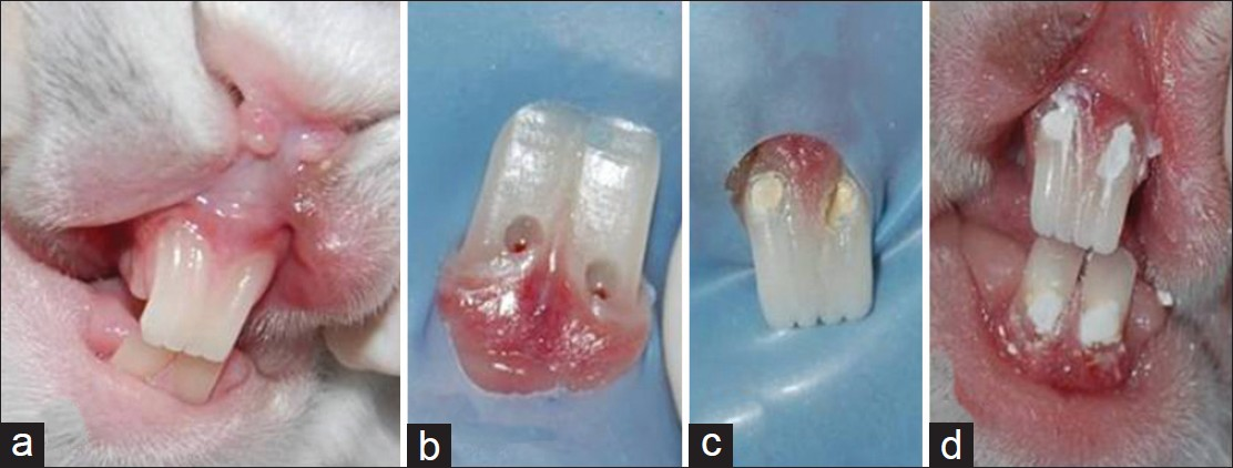 Figure 1: (a) Rabbit teeth before the operation, (b) Pin-point pulp exposure, (c) Application of the pulp-capping agents, (d) and after the operation