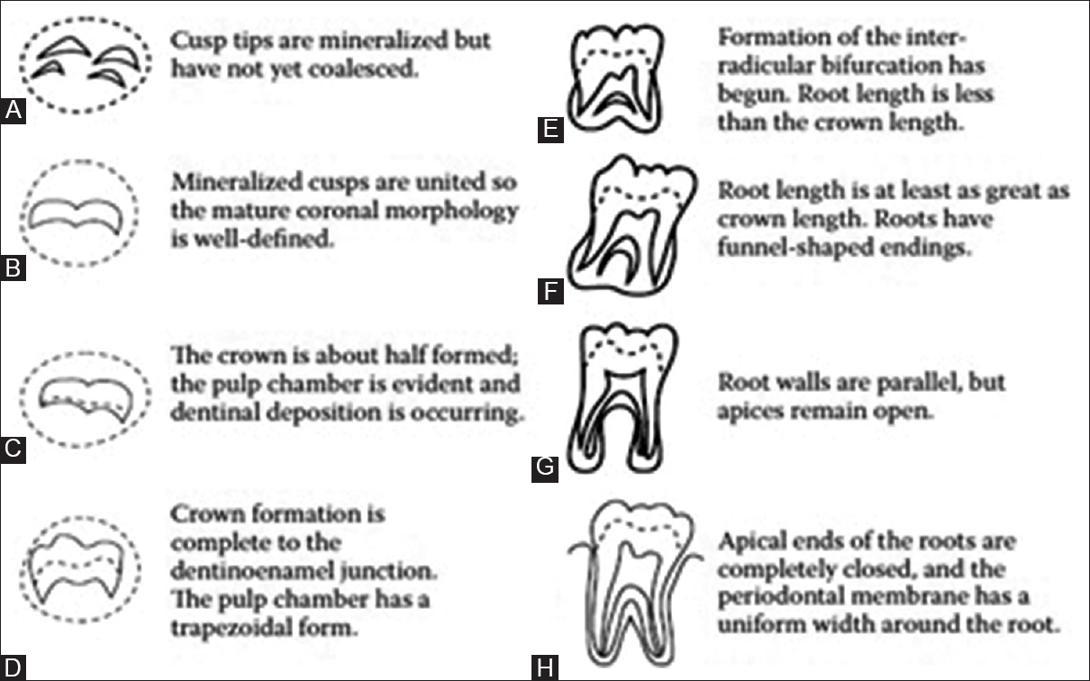 Figure 5: Schematic drawings of the eight ordinal grades used in the Demirjian system of dental age estimation. The dotted circles in stages A through D depict the encapsulating bony crypt. Modified from Demirjian's system.<sup>[43]</sup>